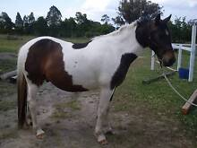 Registered PHAA  8357  Brown Tobiano Gelding Dalveen Southern Downs Preview