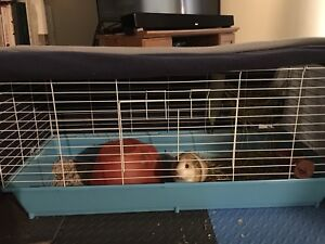 Male Guineapig and Cage for sale.
