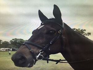 16hh, 10 year old, Dressage / Hack horse Youngs Siding Albany Area Preview