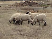 Purebred Suffolk rams Wollert Whittlesea Area Preview
