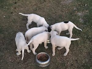 Bull Arab Mastiff Dane x Wolfhound Staghound puppies for sale Silverdale Wollondilly Area Preview