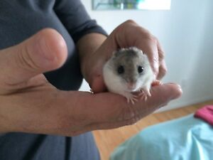 Hamster miniature male