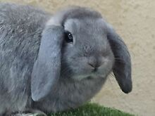 8 week old mini lop rabbits North Beach Stirling Area Preview