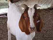 GOATS LAMBS ROOSTERS MUSCOVY DRAKES ROOSTERS Kemps Creek Penrith Area Preview
