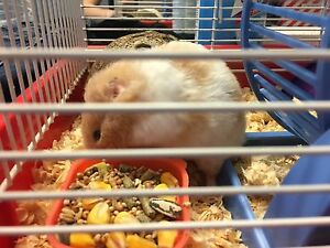 Female long hair hamster