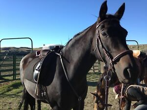Tough and tender 2009 tb mare