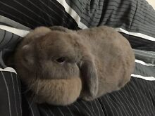 SHE IS GORGES RICH MINI LOP LADY BUNNY 30 MONTH OLD Chatswood Willoughby Area Preview