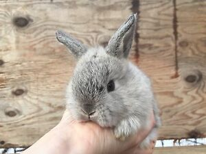 Six Baby Rabbits For Sale - Lop x Dutch