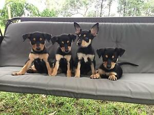 Black and Tan Kelpie pups Tyrconnel Roma Area Preview