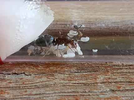 Ant Queen Iridomyrmex sp