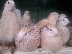 European/Japanese Quails have started to lay great layers Cardinia Area Preview
