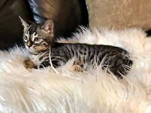Pure Bred Silver Charcoal Spotted Bengal Kitten from Champion Lines