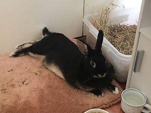 Lost pet rabbit Mount Waverley Monash Area Preview