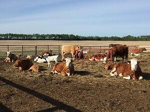 Cow/calf dispersal