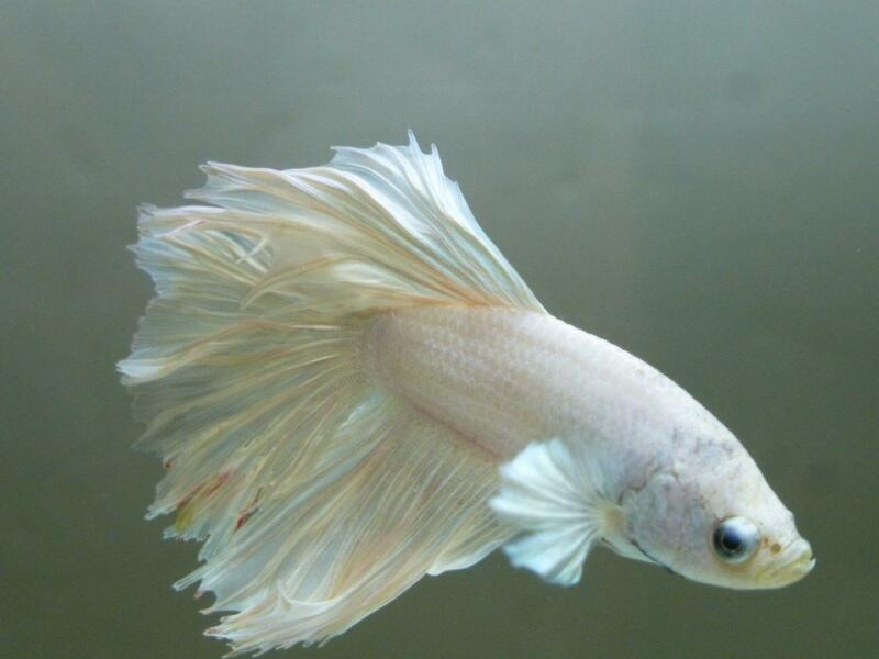 White Halfmoon Betta: Live Fish | eBay