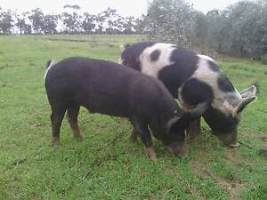Pigs Berkshire,  Berkshire / Large White and Barrow salami boars Boort Loddon Area Preview