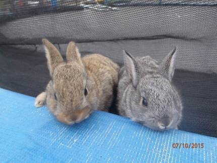 Baby Rex Rabbits For Sale Marks Point Lake Macquarie Area Preview