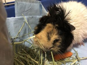 Handsome guinea pig + supplies ( NEED GONE ASAP )