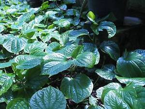 Betel leaves for sale Mirrabooka Stirling Area Preview