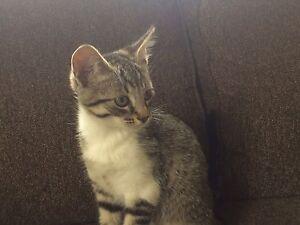 Sweet Tabby kitten