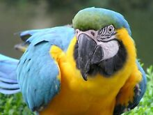 Wanted blue and gold macaw of any sex Kings Meadows Launceston Area Preview