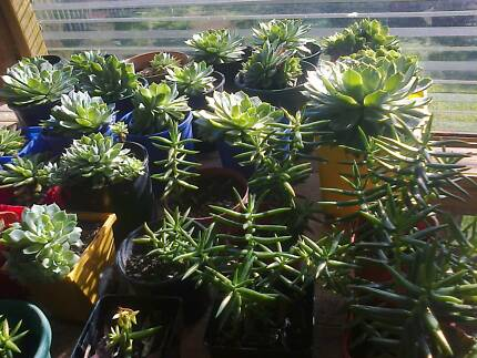 Established Succulents For Sale - All Sizes Otago Clarence Area Preview