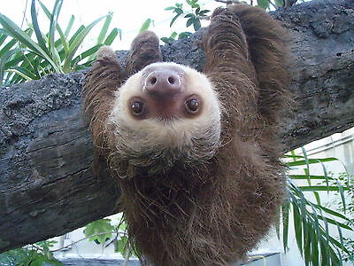 SLOTH 8X10 GLOSSY PHOTO PICTURE