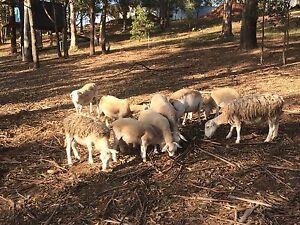 Dorper. 1 ram 5 ewes Maitland Maitland Area Preview