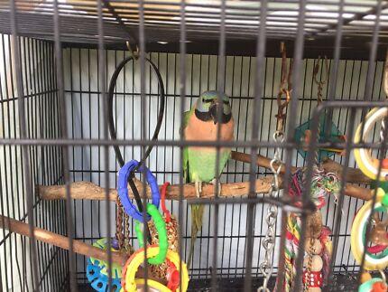 Moustache Parrot Aviary bird - named Maybelle