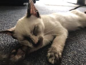 TONKINESE KITTENS REDUCED TO SELL! Tahmoor Wollondilly Area Preview