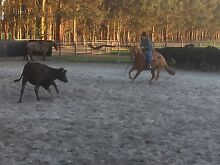 Campdraft horse Lockyer Albany Area Preview