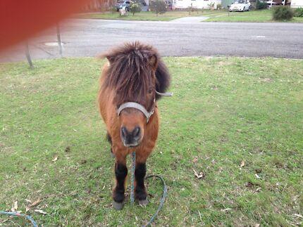Miniature horse stallion Raymond Terrace Port Stephens Area Preview