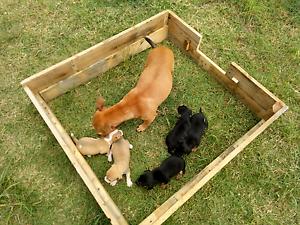 Chihuahua x Staffy x Mini Foxy Puppy puppies Jimboomba Logan Area Preview