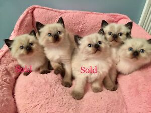 Beautiful long haired kittens need loving homes