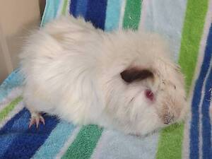 lovely PET male guinea pig $15 Thorneside Redland Area Preview