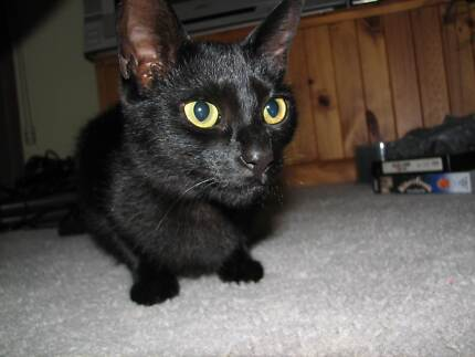 LOST CAT BLACK: LAST KNOWN LOACATION: BRONZEWING AVE  NEWNHAM Summerhill Launceston Area Preview