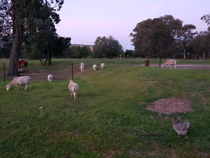 dorper sheep for sale in Wangaratta Area, VIC | Pets