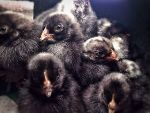 Barred Plymouth Rock chicks Boambee East Coffs Harbour City Preview