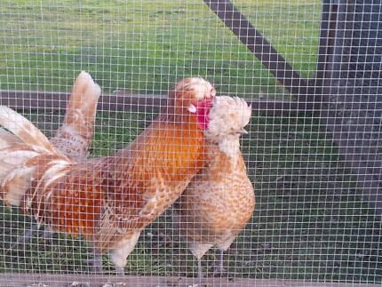 Fertile Pure Breed Rare Chamouis Polish Hatching Eggs