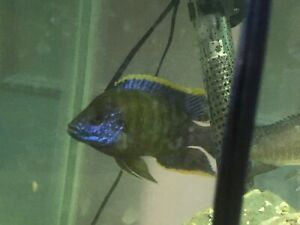 Closing down cichlids  breeding  hobby