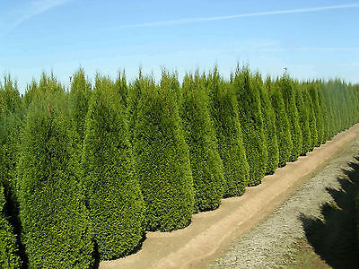 1,000 Italian Cypress Tree Seeds, Fast Growing, ...