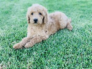 Red/Gold Standard Poodle Male and Female Puppies