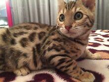 Bengal male kitten Wyee Lake Macquarie Area Preview