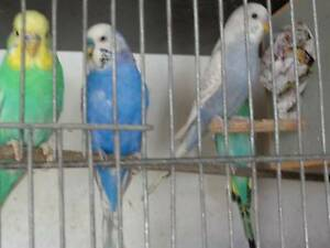 BUDGIES FOR SALE $ 10 EACH. Armadale Armadale Area Preview