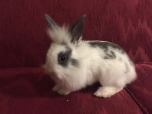 Beautiful Grey and White Baby Lionhead Rabbit