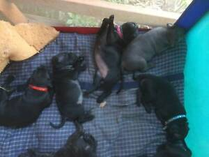 SOLD Purebred English Staffies