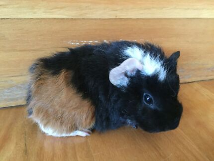 Male baby Guinea Pig - 5 weeks old (1 of 3) West Pymble Ku-ring-gai Area Preview