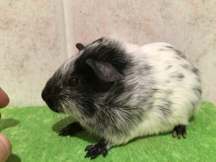 Guinea pig Gorokan Wyong Area Preview