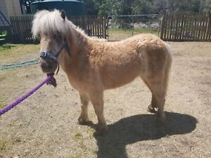 Palomino gelding pony
