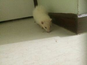 Female ferret PLEASE READ DESCRIPTION!! Hastings Mornington Peninsula Preview